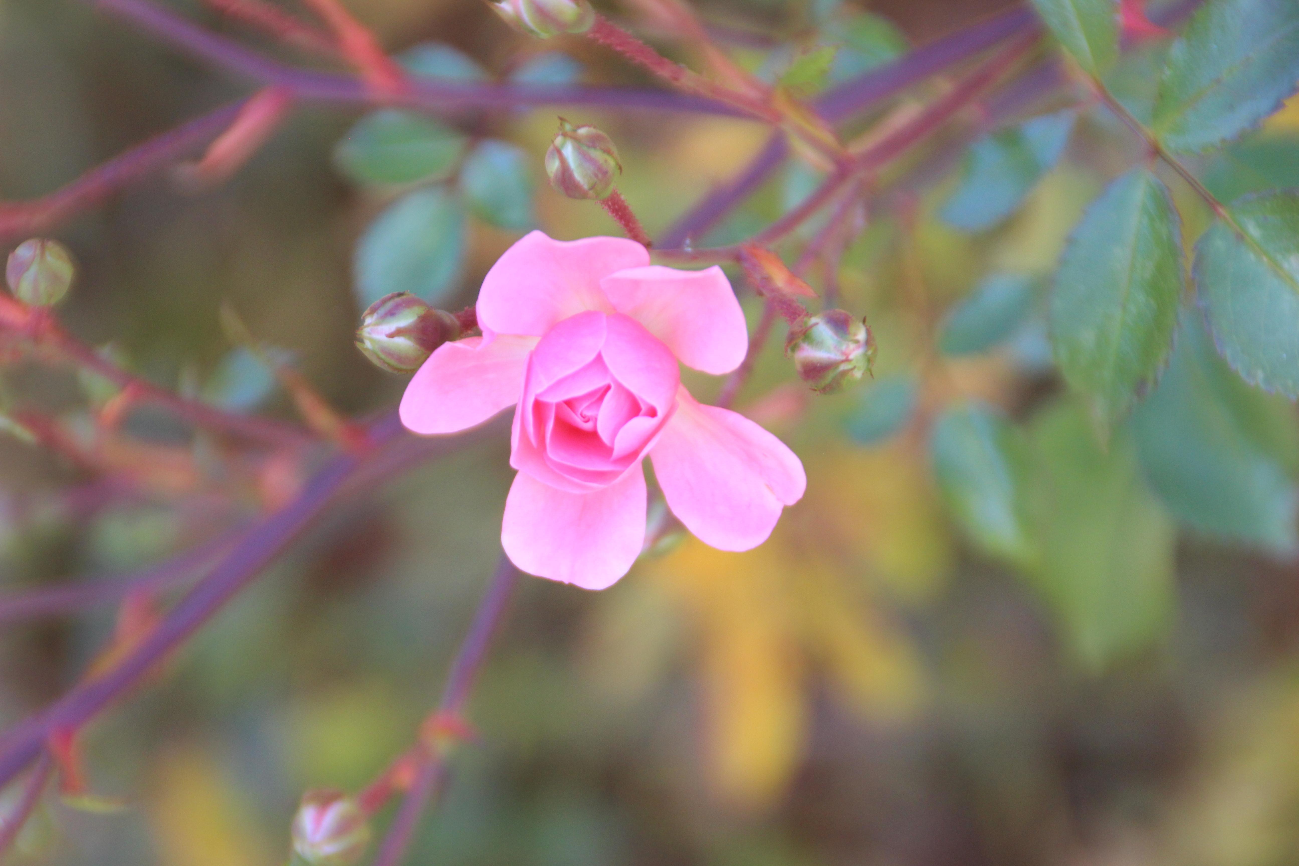 Rose | November 2017