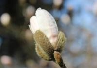 Blüte einer Magnolie | März 2017