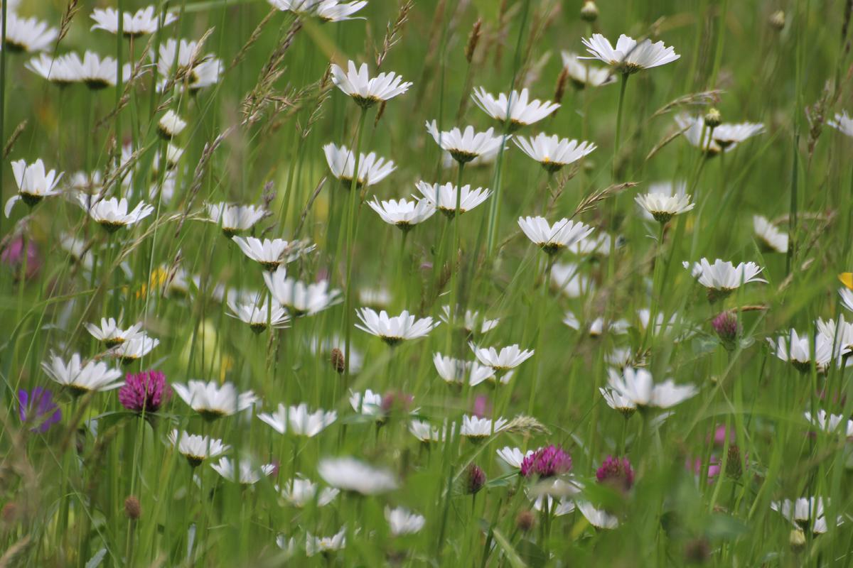 Sommerwiese bei Soglio